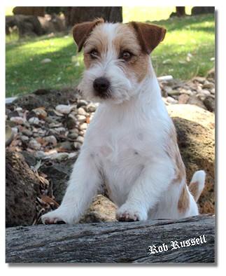 inmuz jack russell terriers   victoria australia